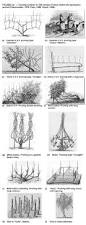 history and evolution of vine architecture diversity of training