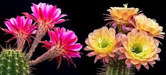 cactus flowers mother nature u0027s fireworks u2013 proof