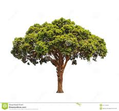 tropical tree in the northeast of thailand stock photo image of