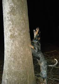 bluetick coonhound song gotta love a good coon dog critters pinterest dog hound dog