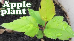 how to grow an apple tree from seeds planting fruit trees