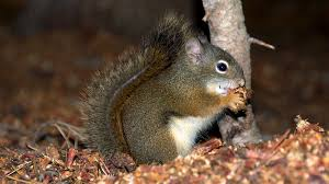 can pine squirrels change the evolution of a forest u2013 cool green
