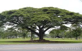 hawaiian umbrella tree naples