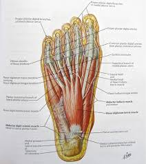 Foot Vascular Anatomy Notes On Anatomy And Physiology Using Imagery To Relax The Weight