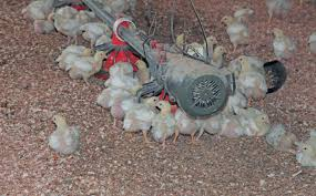 small chicken to succeed with small scale chicken farming