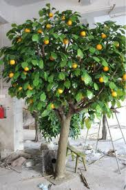 high quanlity real like 5m artificial big tree with orange fruit
