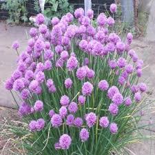 erba cipollina in vaso pianta erba cipollina vaso 14 cm