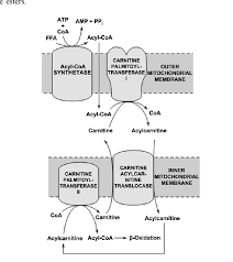 role of l carnitine in the transport of long chain fatty acids