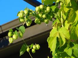 ohio grown hops part 2 u2013 the grower u0027s perspective u2013 expat u0027s pints