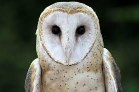 Where Does The Barn Owl Live Barn Owl The Cincinnati Zoo U0026 Botanical Garden