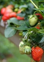 6 diy ways to grow a vertical strawberry garden porch advice