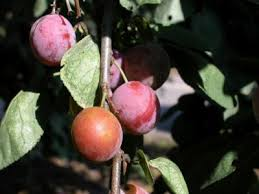 how to get a plum tree to grow plums home guides sf gate