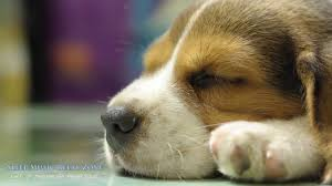 hyperactive dogs relaxing music for dogs dog lullaby become calm and quiet calm