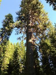 big tree washington