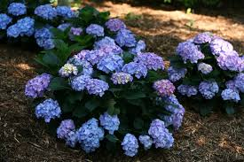 hydrangea old and new hydrangea cultivars continue to be popular