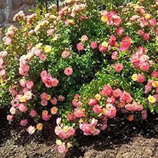 drift roses drift groundcover live plant