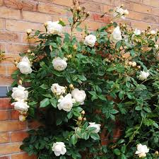 claire austin english rose climbers english roses bred by