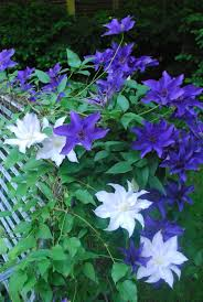 the clematis on the bench dirt simple
