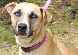 belgian sheepdog illinois chicago il anatolian shepherd meet puppup sweet u0026 gorgeous a