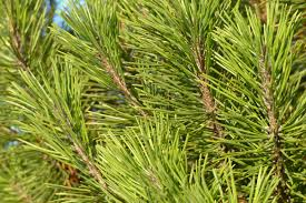 free images tree branch green evergreen botany fir conifer