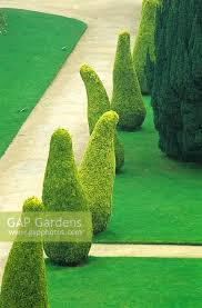 Yew Topiary - gap gardens taxus baccata u0027aurea u0027 golden yew topiary at