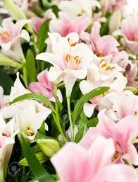 Beautiful Flowers Image White Lily From Keukenhof Park Beautiful Flowers Stock Photo