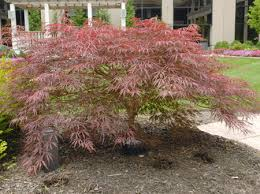 Ornamental Maple Tree Trees Plant Gallery Sweeney Landscape Service Use A Japanese