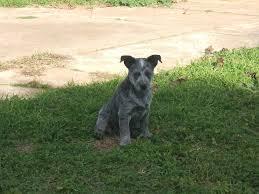 Types Of Dogs 129 Best Mammals Images On Pinterest Australian Cattle Dog