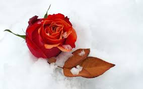 flower snow red rose leaf beautiful winter flowers nature flower
