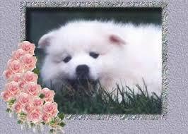 american eskimo dog washington state angelheart eskies american eskimo dogs about us