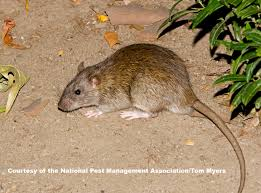 rats facts about rats types of rats pestworldforkids org