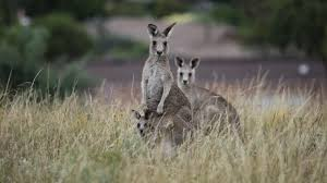 kangaroo mob full episode nature pbs