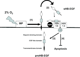 human trophoblast survival at low oxygen concentrations requires