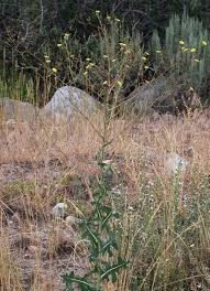 non native invasive plants prickly lettuce u2014 northern arizona invasive plants