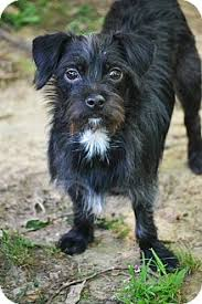 affenpinscher for sale ohio affenpinscher schnauzer miniature mix dog for adoption in