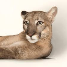 cougar national geographic