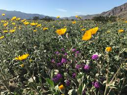 Where Is Anza Borrego by The Super Bloom Has Arrived At Anza Borrego Desert State Park