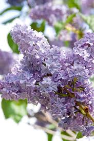 Lilac Flower by 46 Best Lilacs Images On Pinterest Lilacs Flowers And Spring