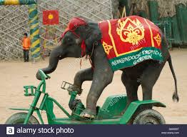 Nong Nooch Tropical Botanical Garden by Elephant Riding Bike Bicycle At The Show Nong Nooch Tropical
