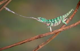 why do chameleons change their colors wonderopolis