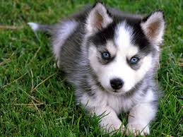cute puppies 2 wallpapers siberian husky puppy wallpaper 1600x1200 6602