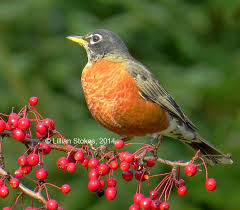 How To Attract Indigo Buntings To Your Backyard Stokes Birding Blog January 2015
