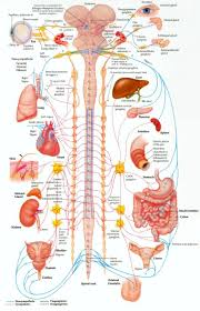 inner body archives page 72 of 73 human anatomy chart