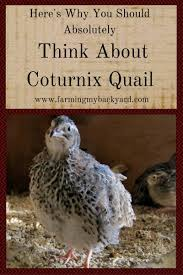 here u0027s why you should absolutely think about coturnix quail