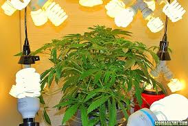 Light Cycle For Weed Cfl Flower Light Issues