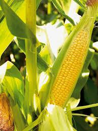 how to grow corn hgtv