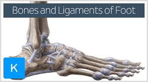 Foot Ligament Anatomy Foot Ligament Anatomy Ligaments Of The Foot Human Anatomy System