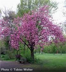 kanzan cherry tree on the tree guide at arborday org