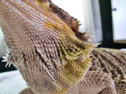 bearded dragon care yellow fungus