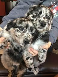 australian shepherd 4 sale wuff da australian shepherd puppies will be available for sale